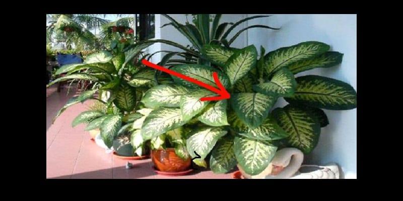 bon savoir cette plante est toxique et peut tuer en. Black Bedroom Furniture Sets. Home Design Ideas