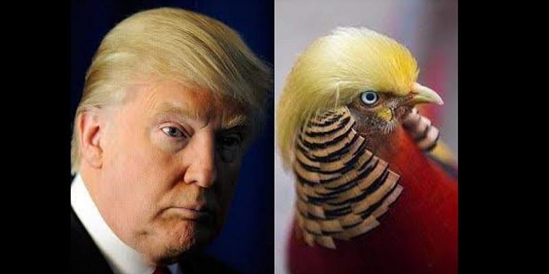 Un oiseau m me coupe de cheveux que donal trump sensation for Coupe de cheveux donald trump