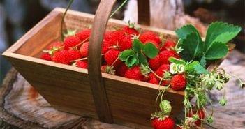 fraise une