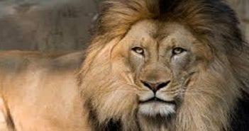 lion..