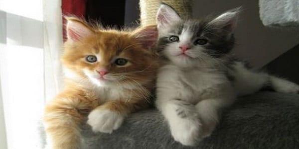 2292_p1_donne-deux-chatons-maine-coon-librement-rhone