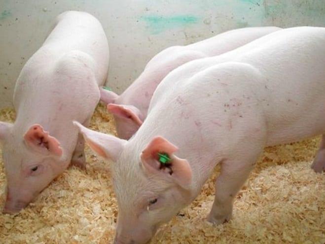 cochon-halal-1024×645