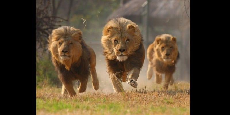 Afrique du Sud: 14 lions s'échappent du parc Kruger