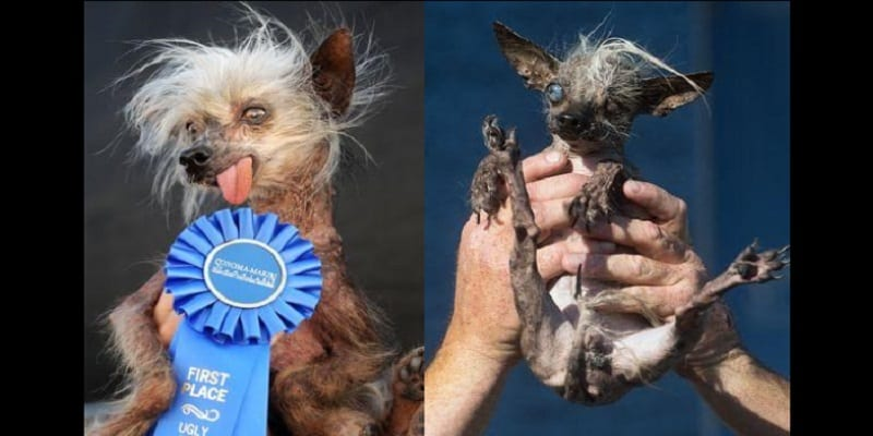 Chien Le Plus Laid sweeppee rambo, remporte le concours du chien le plus laid au monde