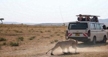 Une photo d'un Lion poursuivant les visiteurs