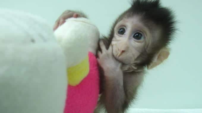 Chine: Des singes clonés par des scientifiques avec la méthode de Dolly (PHOTOS/VIDÉO)