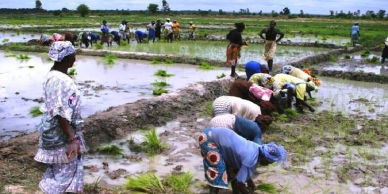 riziculture-Côte d'Ivoire