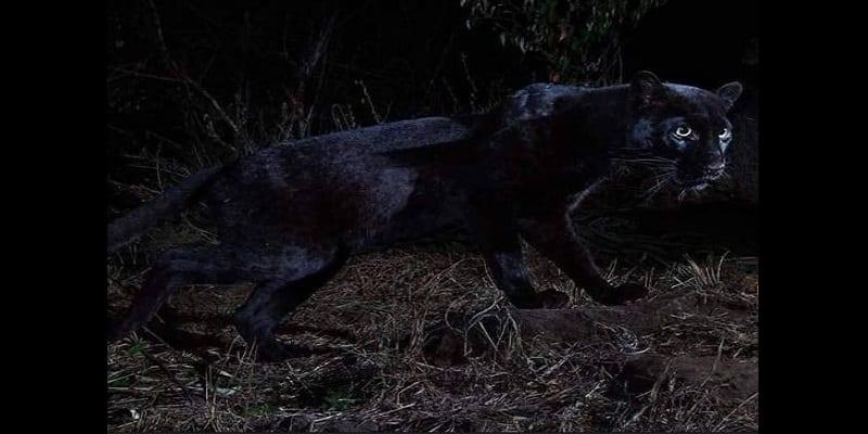Un léopard noir d'Afrique photographié pour la première fois en 100 ans (photos)