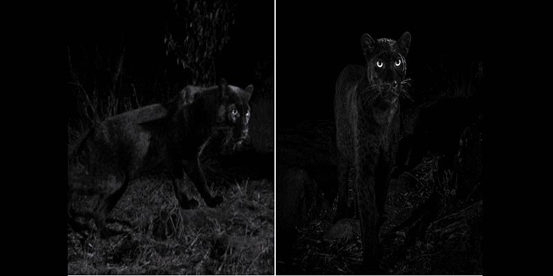 92bbaa8f263 Un léopard noir d'Afrique photographié pour la première fois en 100 ...