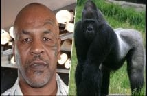 mike_tyson_versus_a_gorilla_the_gorilla_would_100_percent_destroy_him_