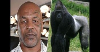 mike_tyson_versus_a_gorilla_the_gorilla_would_100_percent_destroy_him_