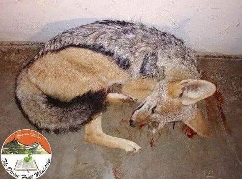 Botswana: Un pasteur tue un chien et le mange cru durant le culte