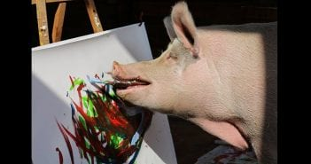 painting-pig