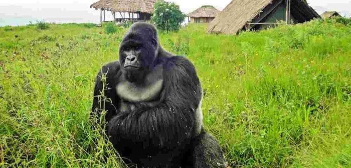 rdc-deux-nouveaux-bebes-gorilles-de-montagne-dans-les-virunga