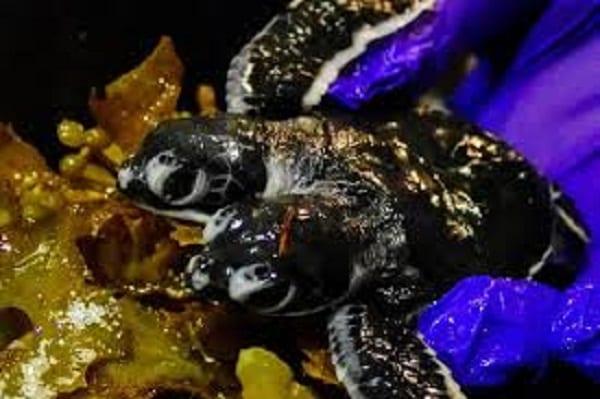 Une tortue à deux têtes découverte en Malaisie (photos)