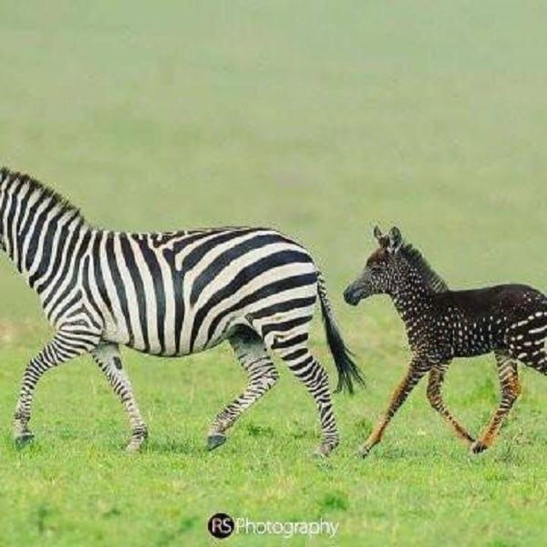 Kenya: un exceptionnel zèbre découvert dans une réserve (Photos)