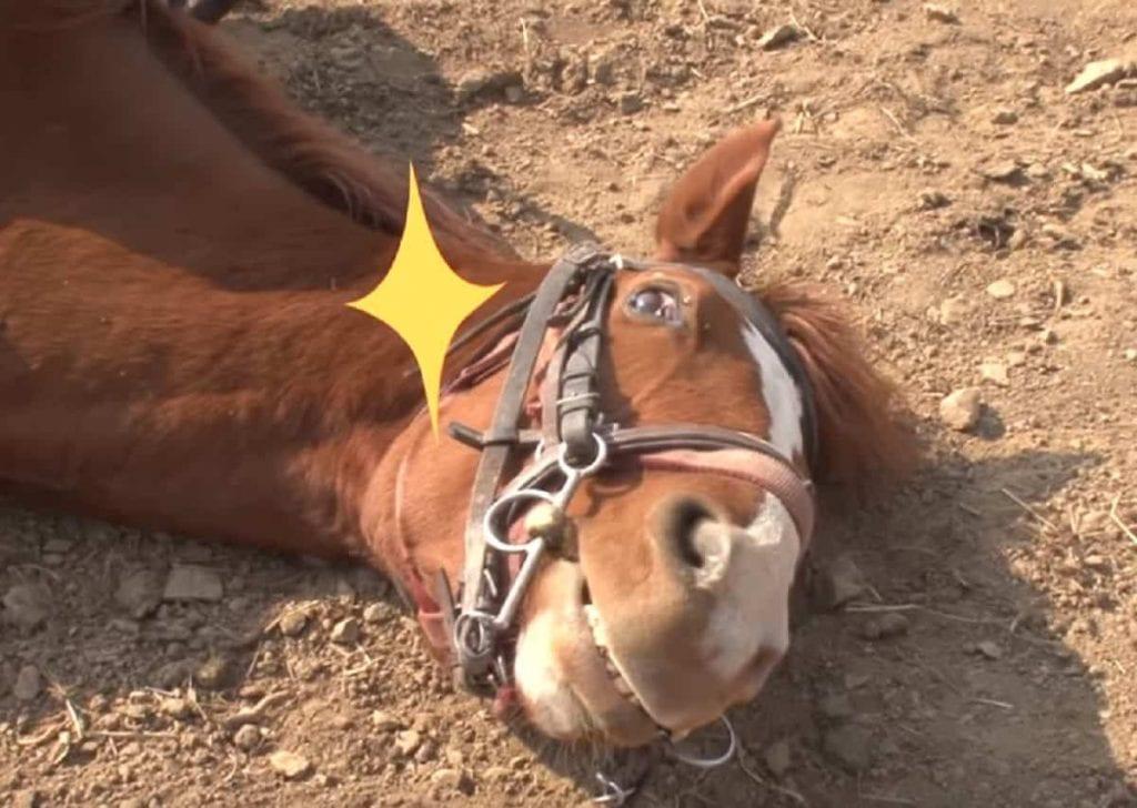 Jingang : le cheval qui fait le mort à chaque fois qu'on tente de le monter (vidéo)
