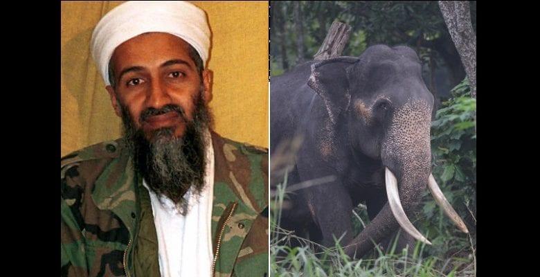 bin-laden-elephant