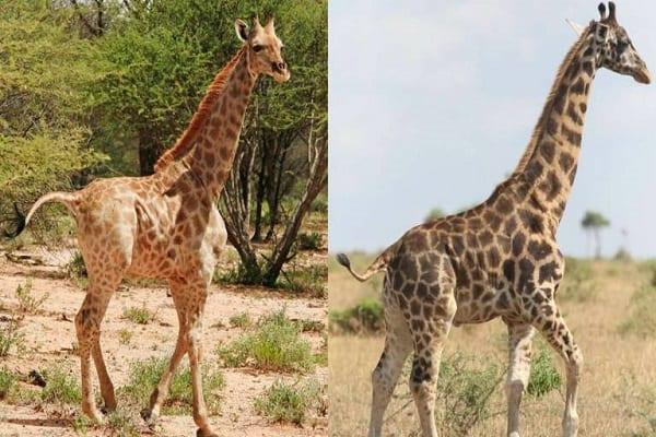 deux-girafes-naines-observees-pour-la-premiere-fois-en-ouganda-et-en-namibie