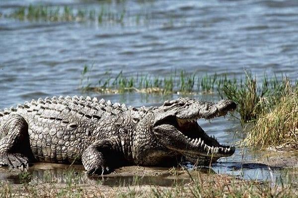 A-crocodile-in-Zimbabwe-014-696×385-1