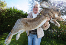 'Worlds-biggest-rabbit-stolen-from-owners-home