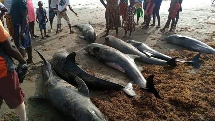 Ghana: des centaines de poissons et dauphins morts s'échouent sur des plages