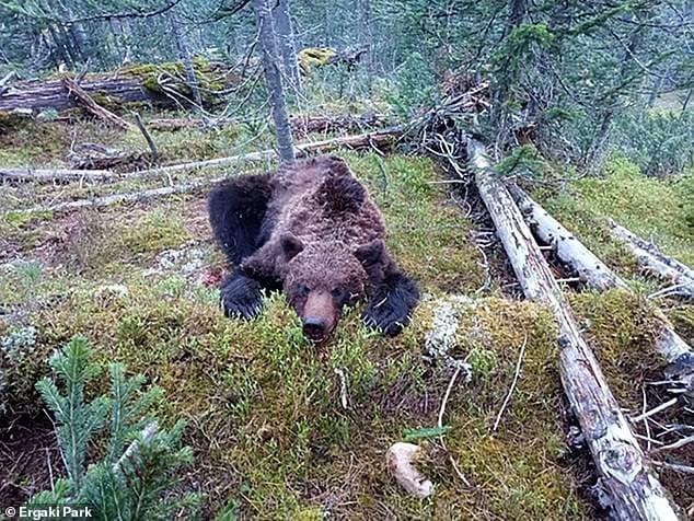 Russie: un garçon tué et mangé par un ours dans un parc national