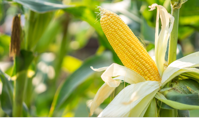 Côte d'Ivoire/ Lancement d'un programme de production intensive de maïs à Yamoussoukro